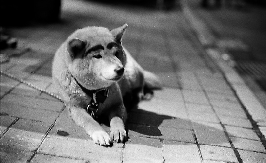 Pachiko, Forgotten Brother of Legendary Hachiko